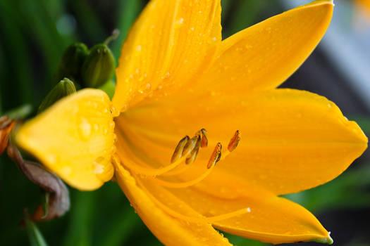 Wild Yellow Lily 5