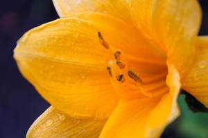 Wild Yellow Lily 7