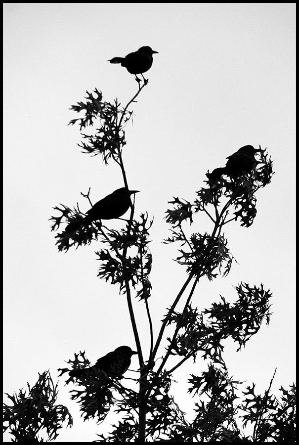 four black birds by devilicious