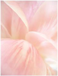 peony petals by devilicious