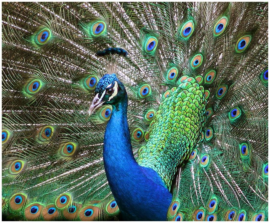 peacock portrait by devilicious