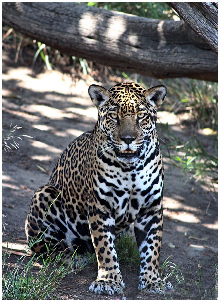 Jaguar by devilicious