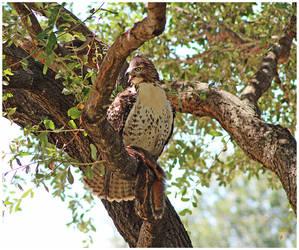 Texas Hawk
