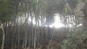 sunlight through the bamboo