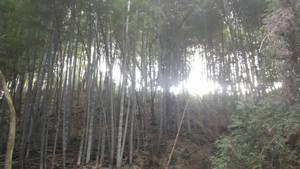 sunlight through the bamboo