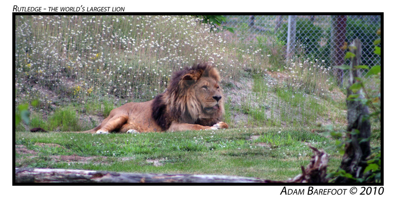 Rutledge World's Largest Lion by adambarefoot