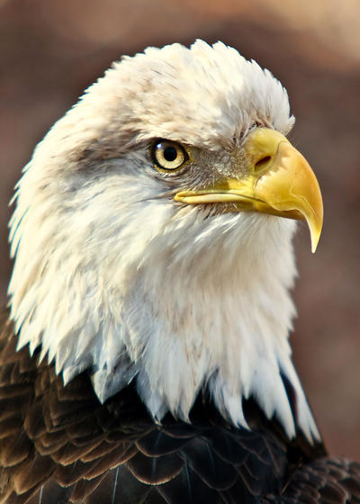 Eagle Portrait by RHCheng