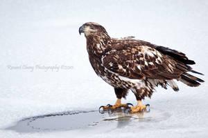 Juve Bald Eagle by RHCheng