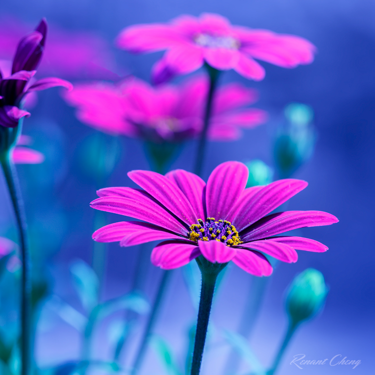 Purple Daisies by RHCheng