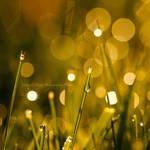Golden Magic Dew