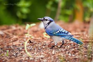 Blue Jay Encounter by RHCheng