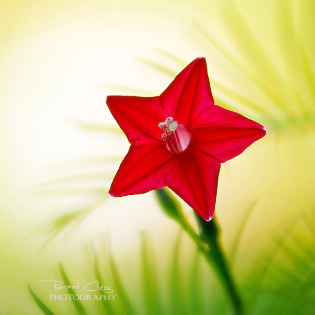 .:Morning Star:. by RHCheng