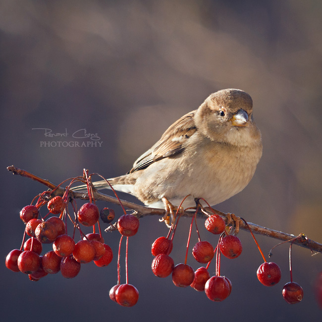 .:Backyard Sparrow:. by RHCheng