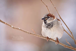 .:Winter Sparrow:. by RHCheng