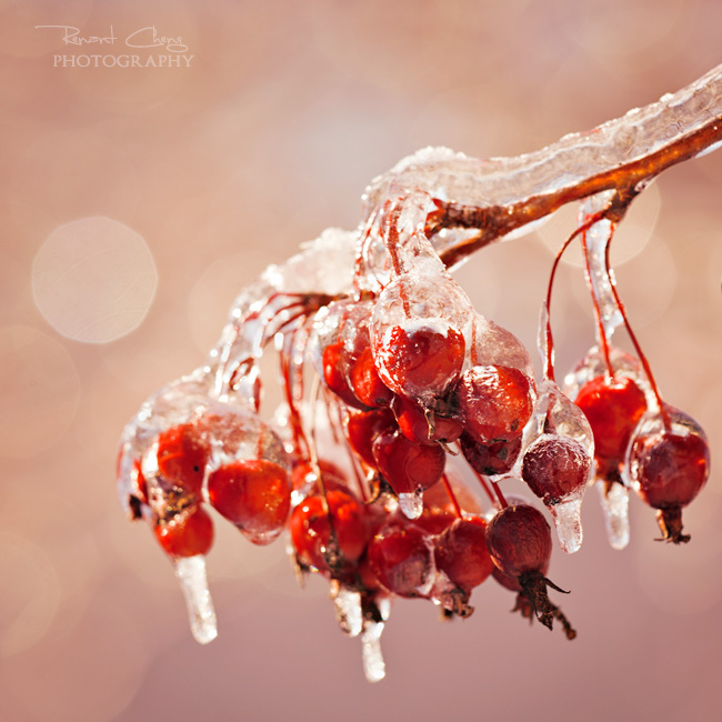 .:Icy Crab Apples:. by RHCheng