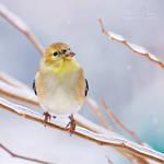 .:Snowy Goldfinch:.