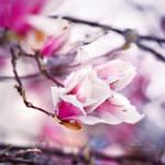 .:Snowy Magnolia:.