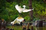 .:Egret and Ibis:.