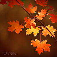.:Zion Maple Leaves:. by RHCheng