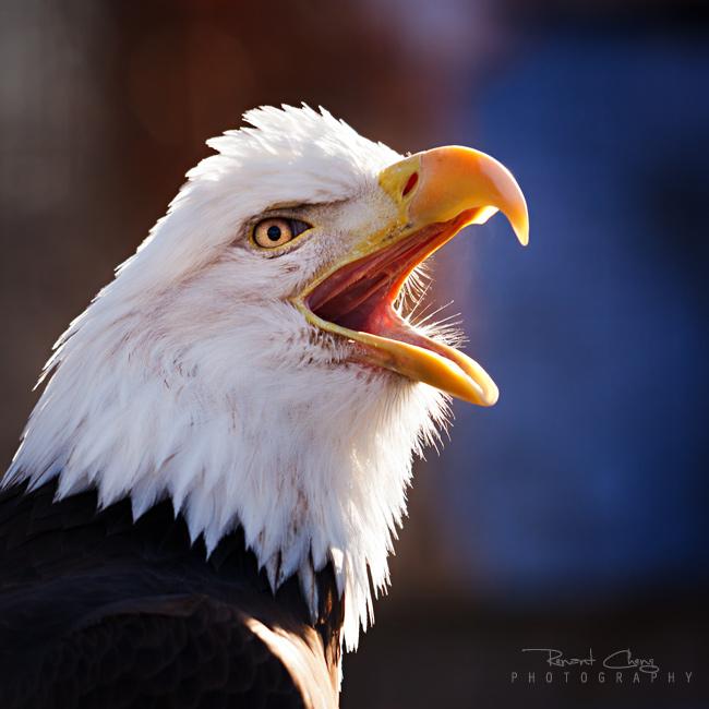 .:Screaming Eagle:.