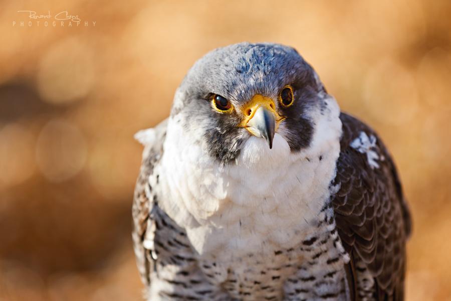 .:Peregrine Falcon II:. by RHCheng