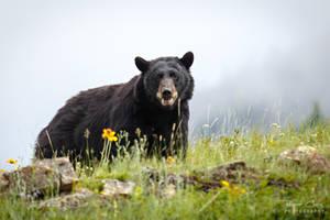 .:Black Bear:. by RHCheng