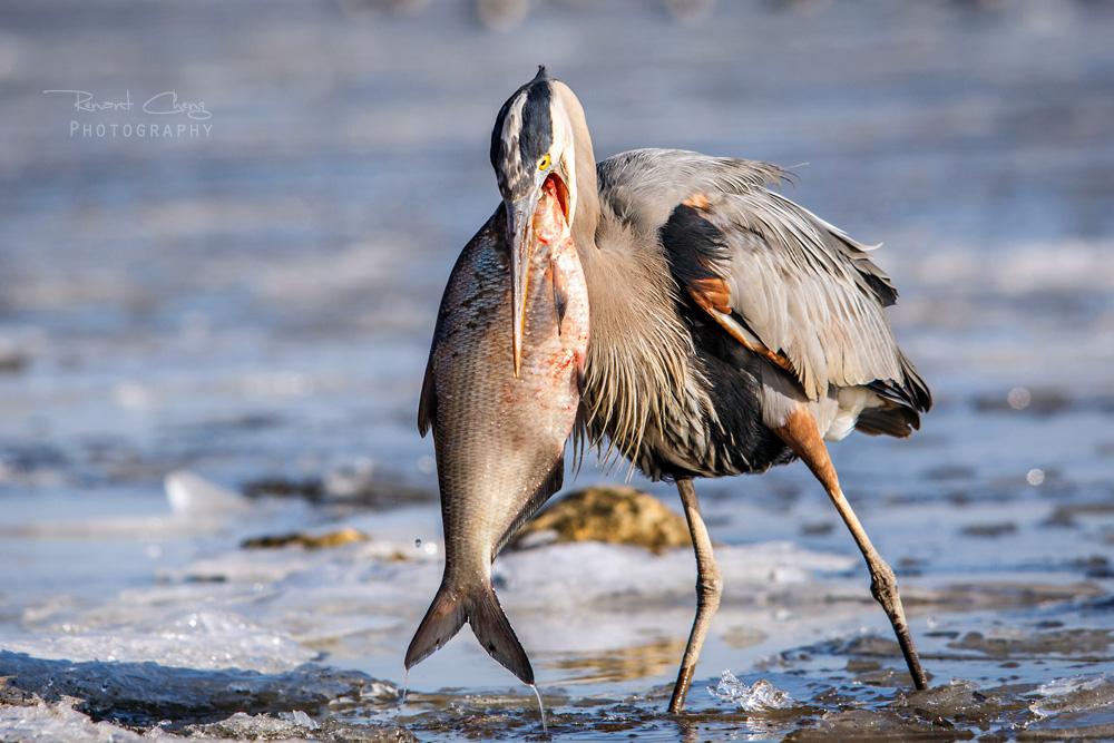 .:Heron's Big Meal III:. by RHCheng