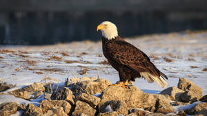 .:Winter Bald Eagle:.