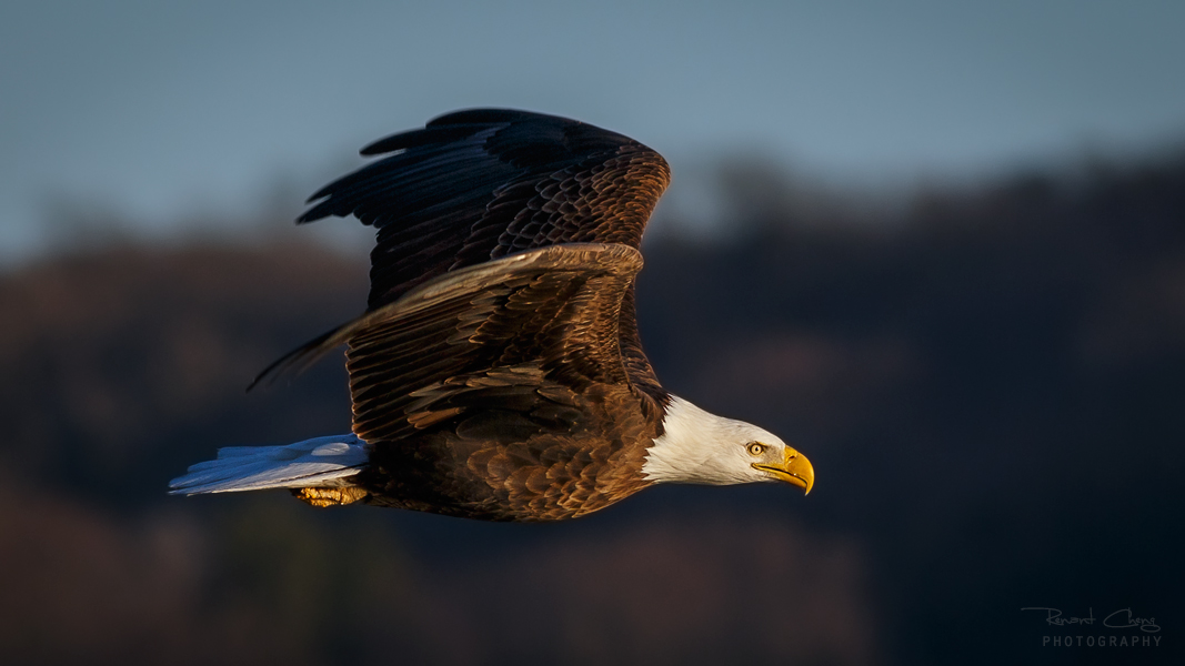 .:Soaring Eagle II:. by RHCheng