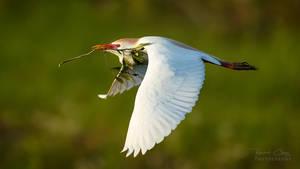 .:Cattle Egret I:.