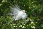 .:Breeding Plumage:.