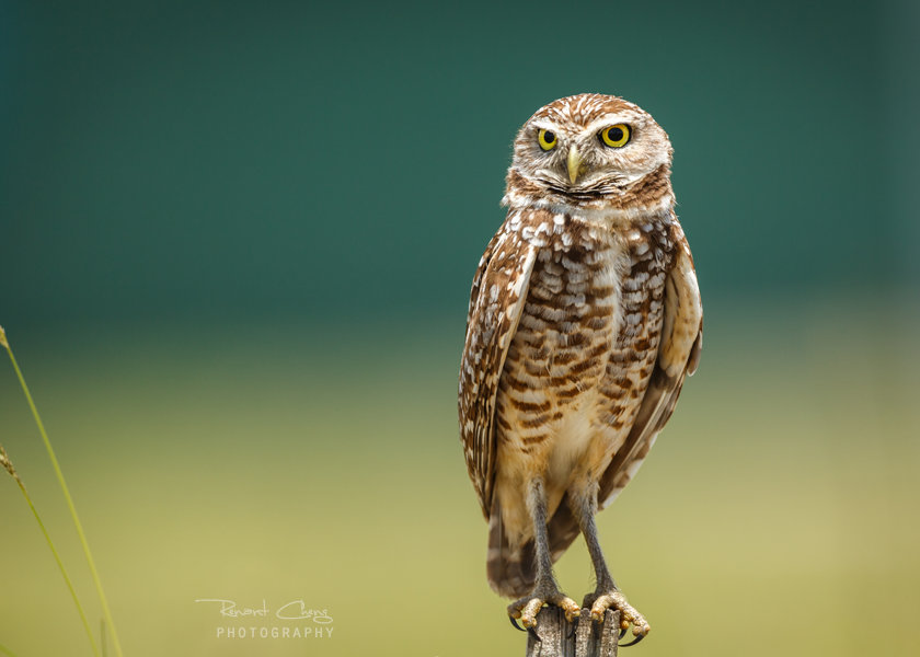 .:Burrowing Owl III:. by RHCheng