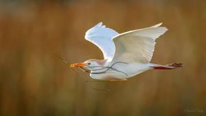 .:Cattle Egret in Flight:.