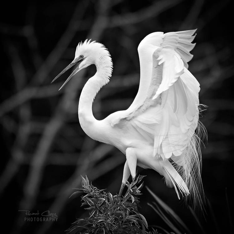 .:White Elegance:. by RHCheng