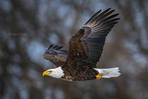 .:Eagle in Flight:. by RHCheng