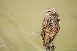 .:Burrowing Owl:. by RHCheng