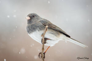 .:Junco Snow Day:. by RHCheng