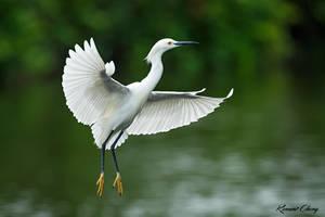 .:Snowy Egret II:. by RHCheng