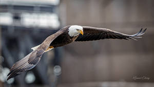 .:Bald Eagle III:. by RHCheng