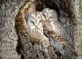 .:Ural Owl Couple:.