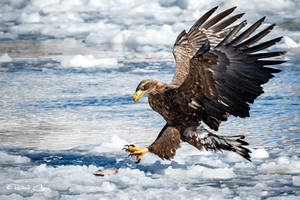 .:White Tailed Eagle I:. by RHCheng