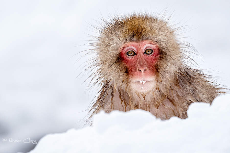 .:Snow Monkey I:. by RHCheng