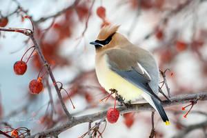 .:Cedar Waxwing:. by RHCheng