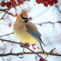 .:Cedar Waxwing II:. by RHCheng