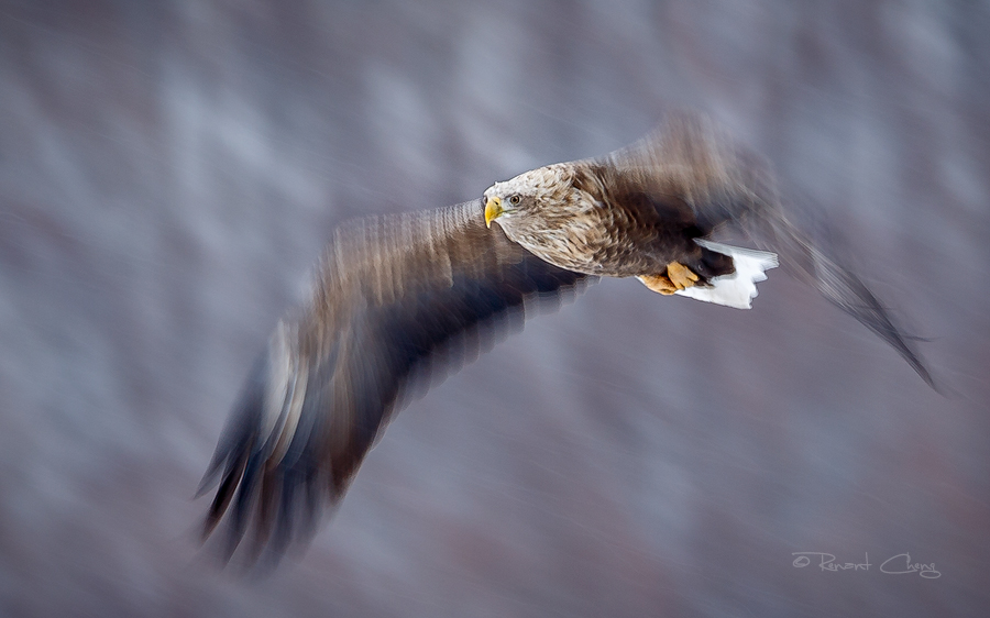 .:Eagle in Motion:. by RHCheng