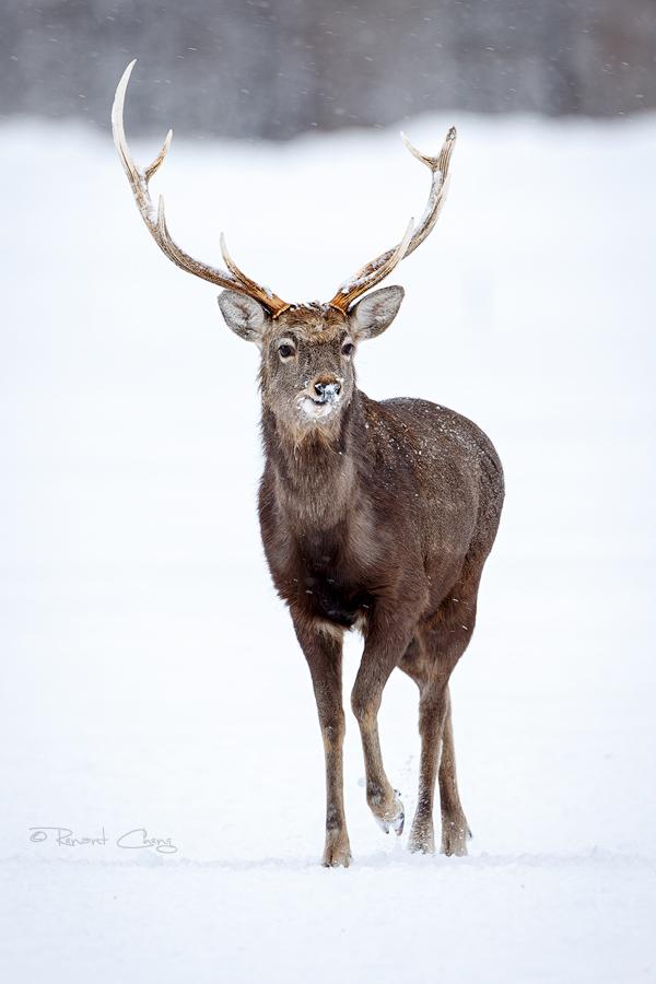 .:Ezo Deer:. by RHCheng