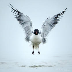 .:Laughing Gull:. by RHCheng