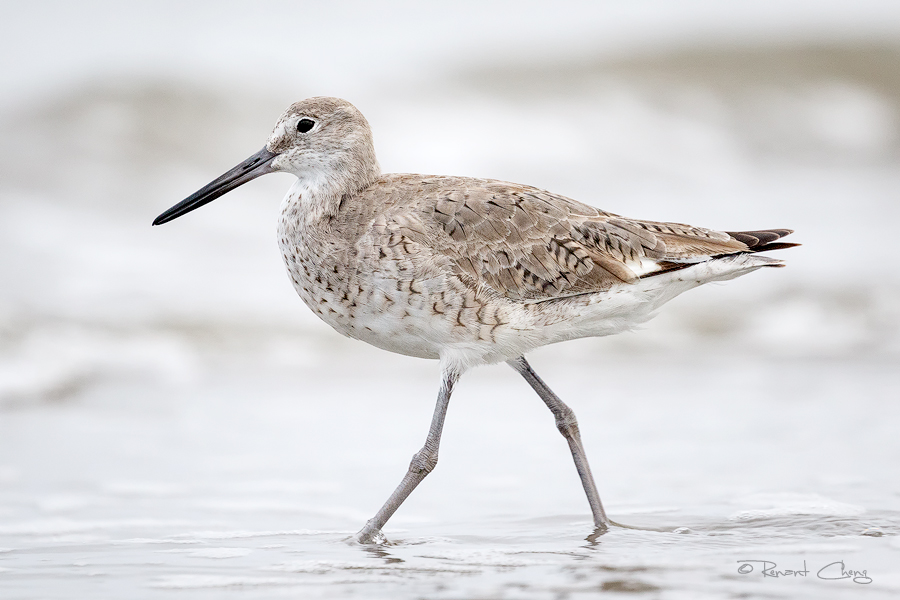 .:Willet:. by RHCheng