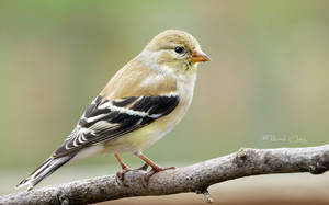 .:Goldfinch:. by RHCheng