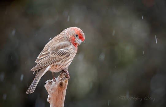 .:House Finch:.